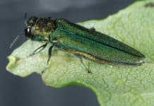 A close-up of the Emerald Ash Borer. Photo: Courtesy USDA APHIS, Dr. James Zablotny/Flickr, CC BY 2.0